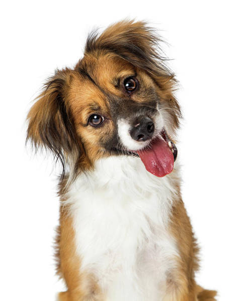 Wall Art - Photograph - Cute Small Happy Dog Tilting Head Looking Forward by Susan Schmitz