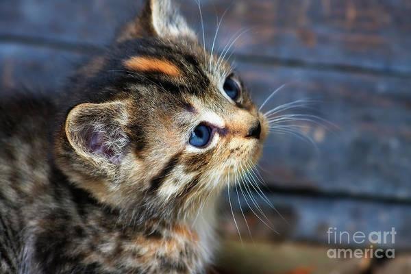 Photograph - Cute Tabby Kitten by Jill Lang