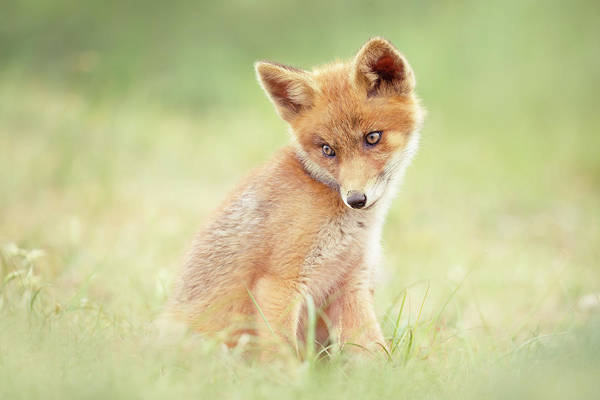 Wall Art - Photograph - Cuteness Overload Series - Young Red Fox by Roeselien Raimond