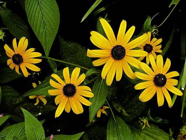 Fleur Digital Art - Cutleaf Coneflowers by Barbara Zahno