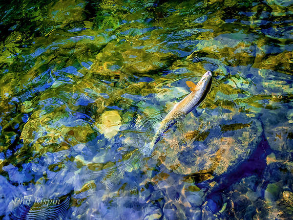 Photograph - Cutthroat 2 by Philip Rispin