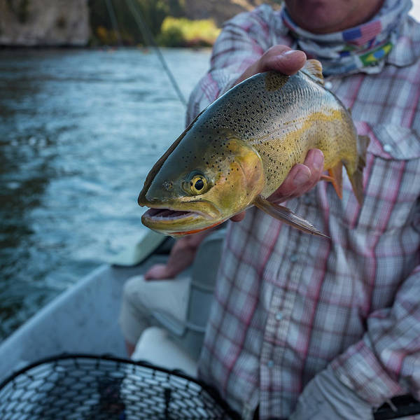 Photograph - Cutthroat Trout by Ron White