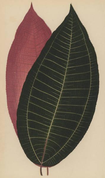 Leaf Venation Wall Art - Painting - Cyanophyllum Magnificum by English School