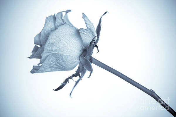 Wall Art - Photograph - Cyanotype Rose by John Edwards