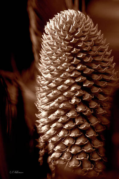 Photograph - Cycad Cone - Sepia by Christopher Holmes
