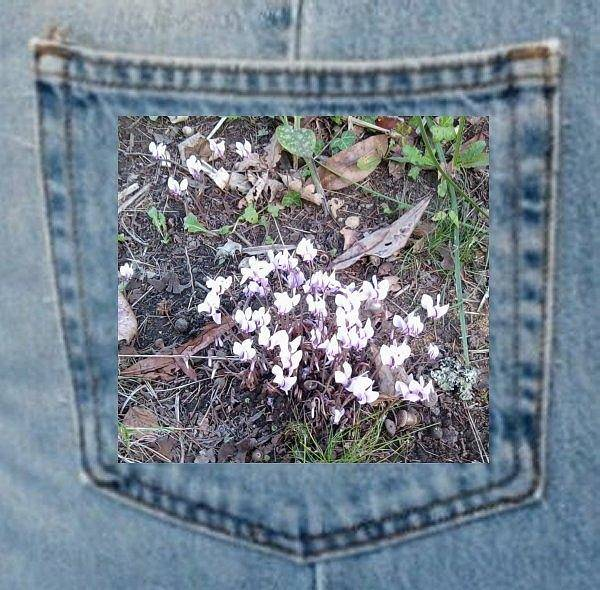 Photograph - Cyclamen In Woodland Pocket Plant by Julia Woodman
