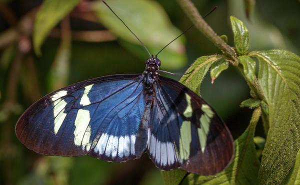 Photograph - Cydno Longwing Jardin Botanico Del Quindio Colombia by Adam Rainoff