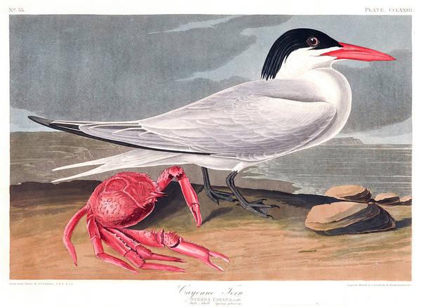 Wall Art - Painting - Cyenne Tern by John James Audubon