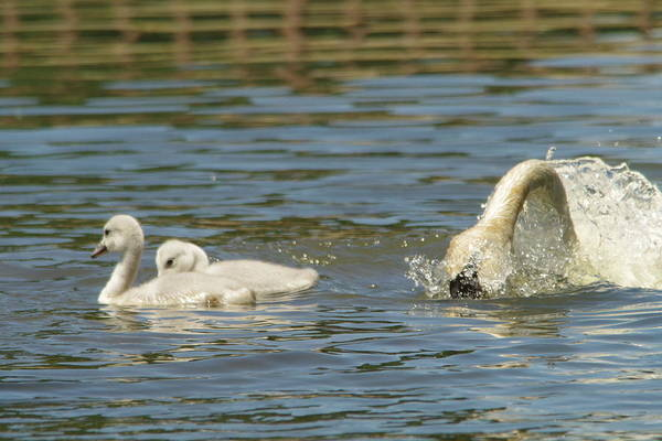 Mute Swan Photograph - Cygnets  by Jeff Swan