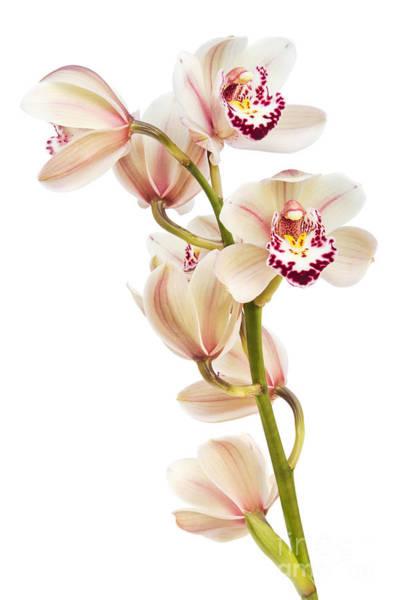 Cymbidium Photograph - Cymbidium - Boat Orchid by Ann Garrett