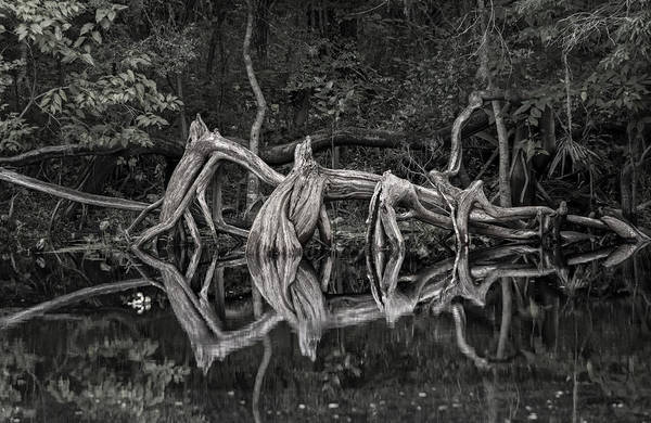 Photograph - Cypress Design by Steven Sparks
