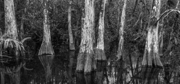 Everglades Photograph - Cypress Elders by Jon Glaser
