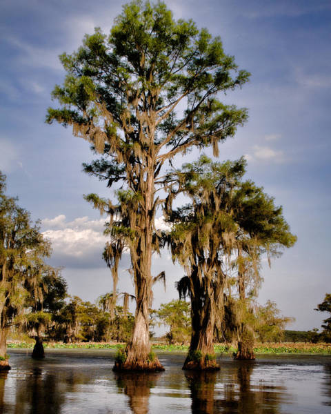 Bald Cypress Photograph - Cypress Grove by Lana Trussell