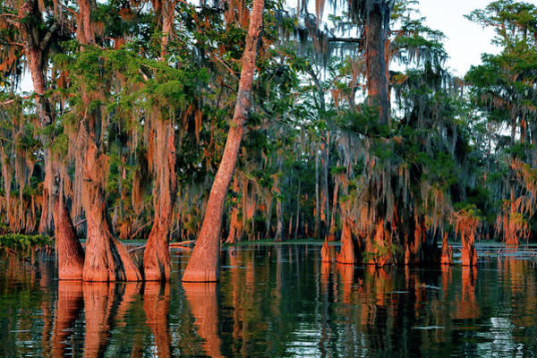 Photograph - Cypress Grove by Nicholas Blackwell