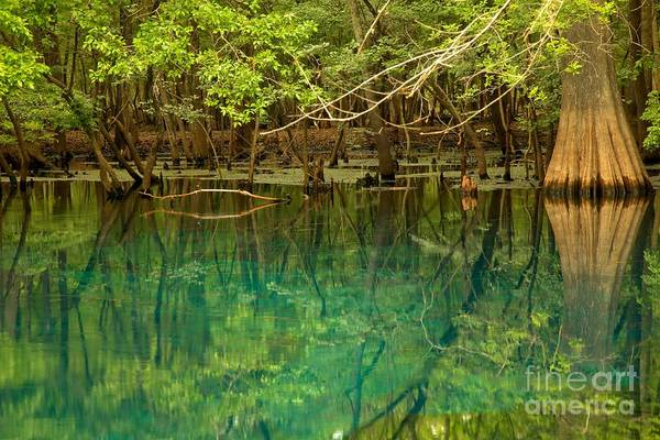 Photograph - Cypress In Manatee by Adam Jewell