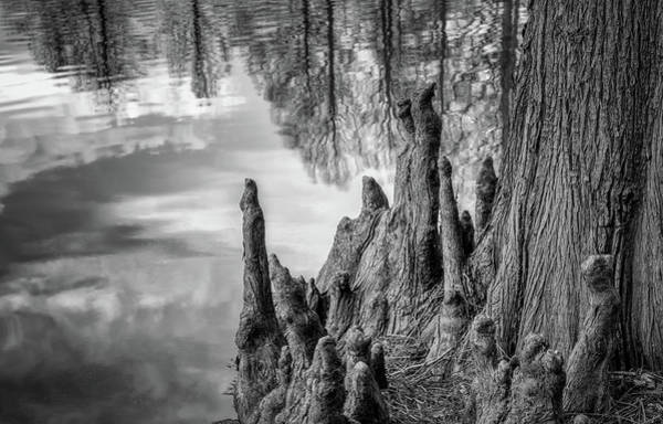 Honor Heights Park Photograph - Cypress Knees In Bw by James Barber