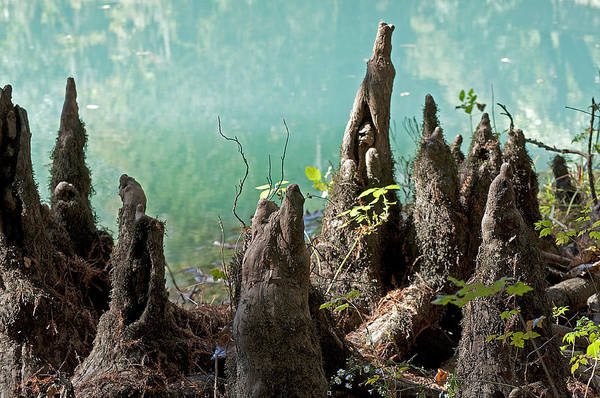 Cypress Knees Photograph - Cypress Knees In The Mist by Kenneth Albin