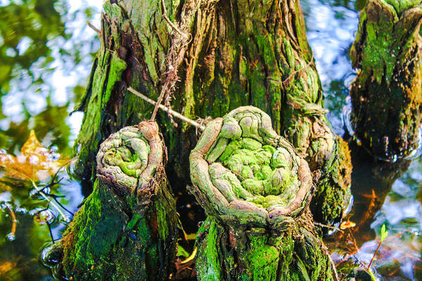 Photograph - Cypress Knees by Stacey Rosebrock