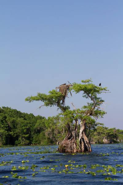 Photograph - Cypress Osprey Duo by Paul Rebmann