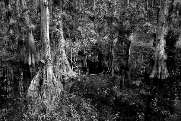 Photograph - Cypress Trees 4021 by Rudy Umans