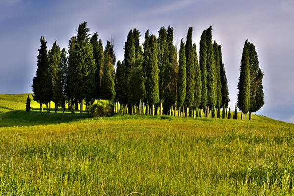 Photograph - Cypress Trees by Ivan Slosar
