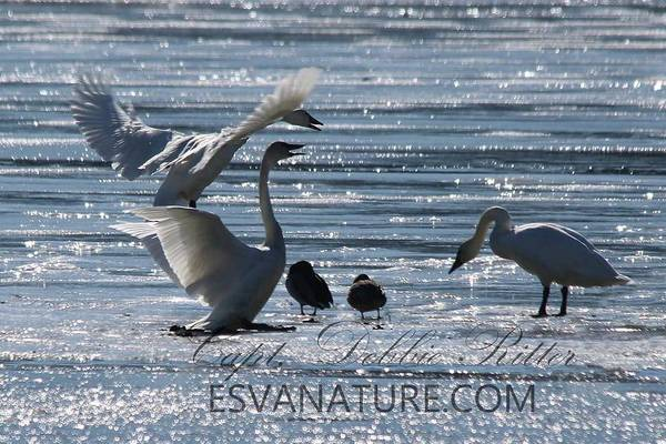 Photograph - Cyrstal Swans 9170 by Captain Debbie Ritter