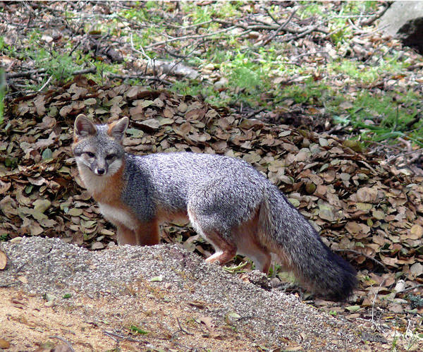 Photograph - D-a0014 Gray Fox On Sonoma Mountain by Ed Cooper Photography