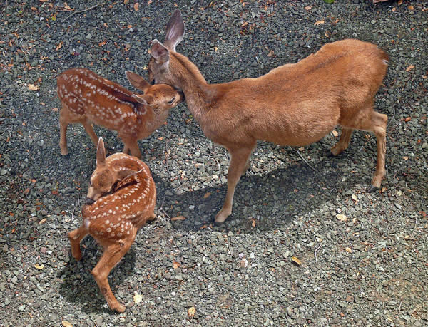 Photograph - D-a0015 Deer And Fawns On Sonoma Mountain by Ed Cooper Photography