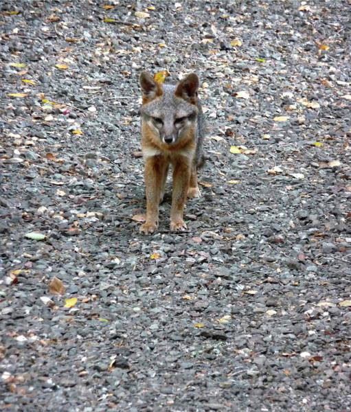 Photograph - D-a0051-dc Gray Fox Pup by Ed Cooper Photography
