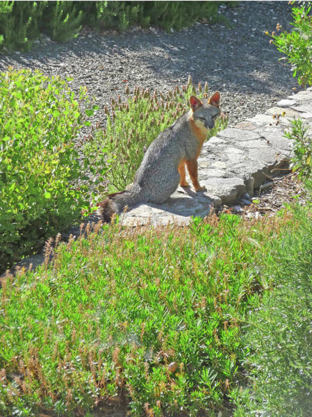 Photograph - D-a0052-dc Gray Fox On Our Property by Ed Cooper Photography