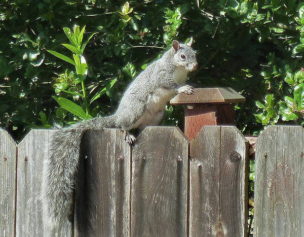 Photograph - D-a0071-e-dc Gray Squirrel On Our Fence by Ed Cooper Photography