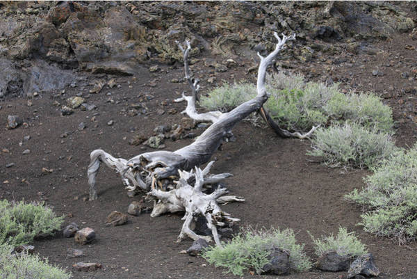 Photograph - D07791 Juniper Stump In Craters Of The Moon by Ed Cooper Photography