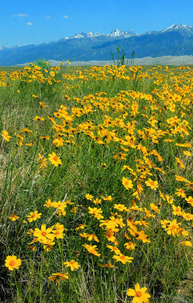 Photograph - D10942 Yellow Flowers At Great Sand Dunes Nat Park V by Ed Cooper Photography
