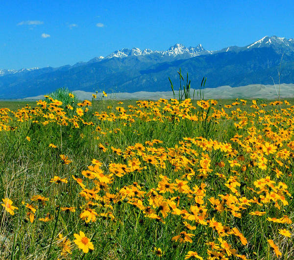 Photograph - D10943-h Yellow Flowers At Great Sand Dunes Nat Park H by Ed Cooper Photography
