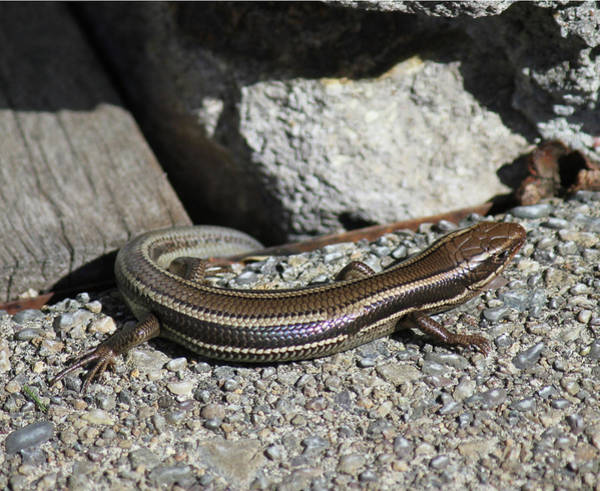 Photograph - D3b6339 Western Skink On Sonoma Mountain by Ed Cooper Photography