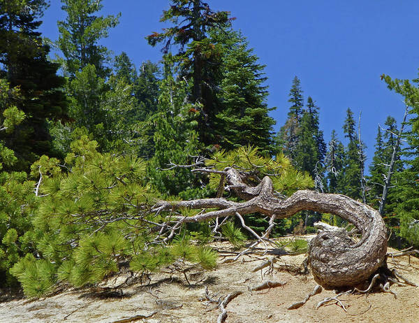 Photograph - D3n6102-dc Gnarled Tree  by Ed Cooper Photography