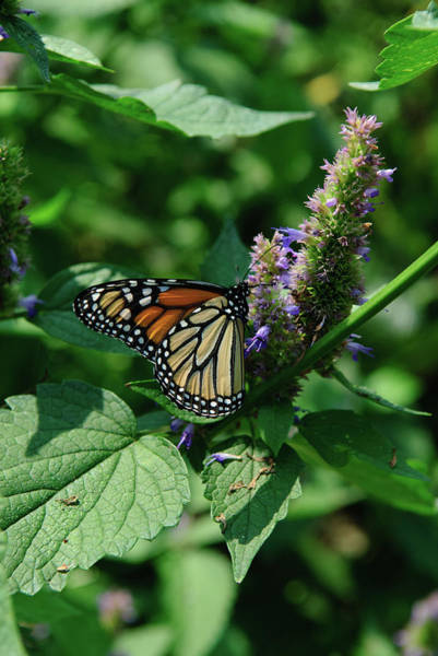 Photograph - D4m-15 Butterfly On Flower by Ohio Stock Photography