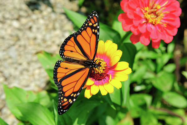Photograph - D4m-24 Butterfly On Flower by Ohio Stock Photography
