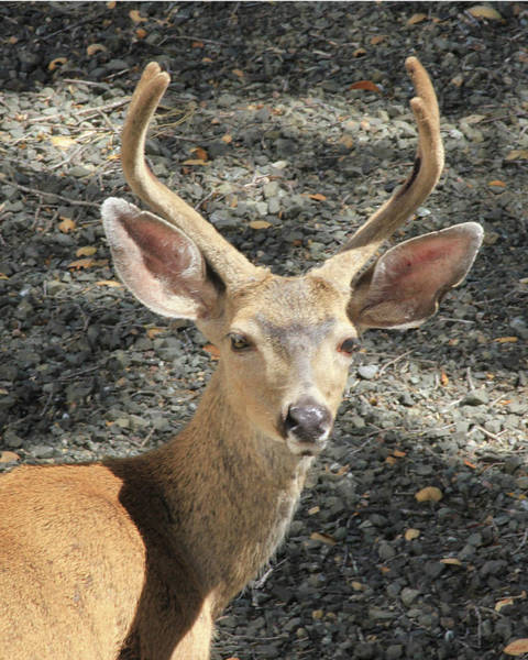 Photograph - D6b6304 Mule Deer by Ed Cooper Photography