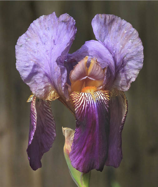 Photograph - D6b6376 Iris On Sonoma Mountain by Ed Cooper Photography
