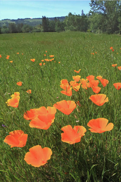 Photograph - D6b6384 California Poppies by Ed Cooper Photography