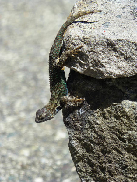 Photograph - D7b6335 Western Fence Lizard, Male, Sonoma Mountain, Ca by Ed Cooper Photography