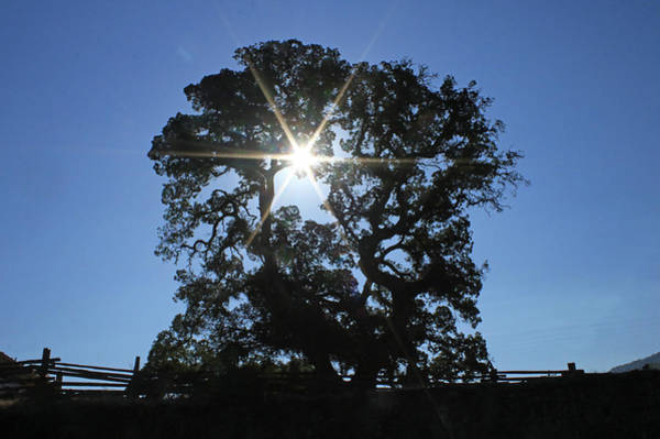 Photograph - D8b6305 Sunburst Through Large Oak Jack London State Historic Park by Ed Cooper Photography