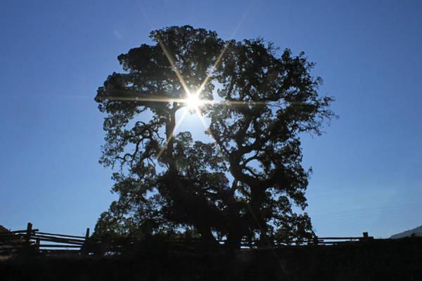 Photograph - D8b6305 Sunburst Through Large Oak Jack London State Historic Park by Ed Cooper Photography