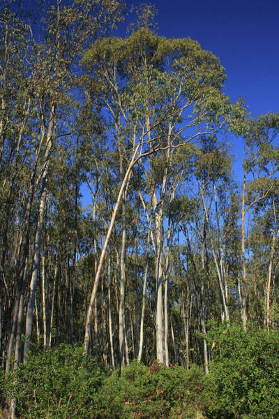 Photograph - d8b6307 Eucalyptus Trees Jack London State Park by Ed Cooper Photography
