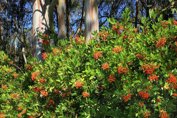 Photograph - D8b6308 Toyon Plant Aka Christmas Berry by Ed Cooper Photography