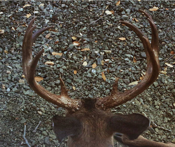 Photograph - D8b6352 8 Point Buck Sonoma Ca by Ed Cooper Photography