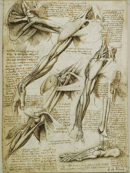 Painting - Da Vinci Man Right Arm And Shoulder Anatomy By Da Vinci by Tony Rubino