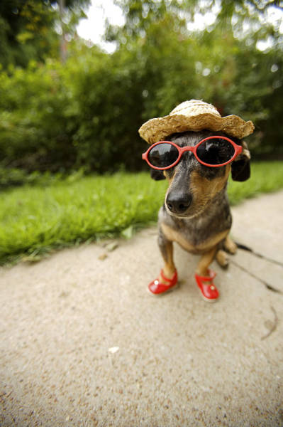 Wall Art - Photograph - Dachshund In Sunglasses, Straw Hat by Gillham Studios