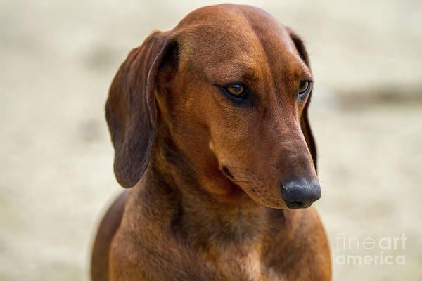 Photograph - Dachshund Portrait by Heiko Koehrer-Wagner